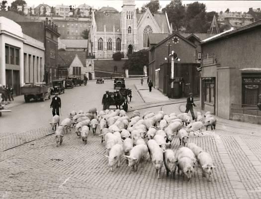 Pigs on Brian Boru Street